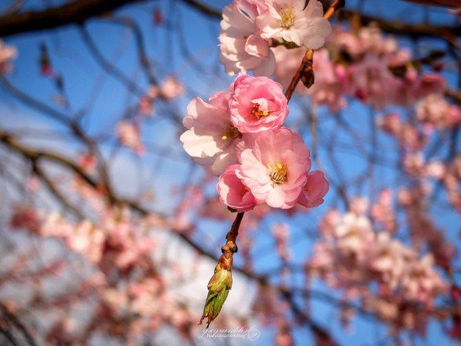 Gothenburg | Cherry Blossoms